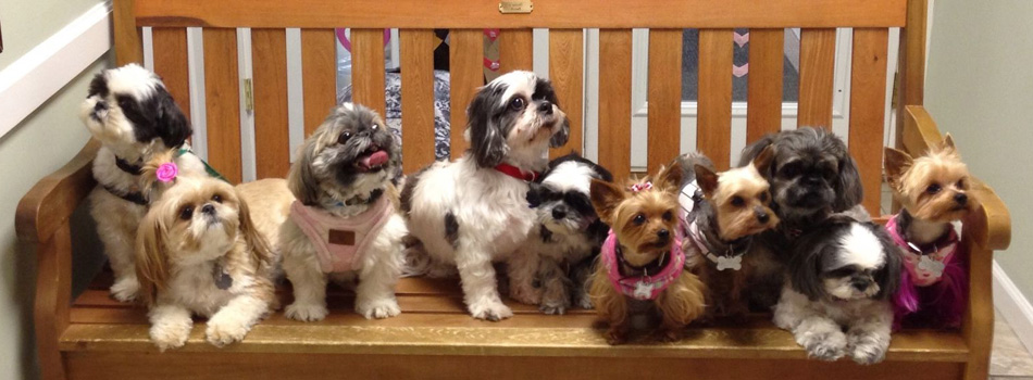 Welcome To Stfbr Rescue Homepage Shih Tzus Furbabiesshih Tzus