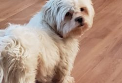 Available Dogs Archives - Shih Tzus & FurbabiesShih Tzus & Furbabies