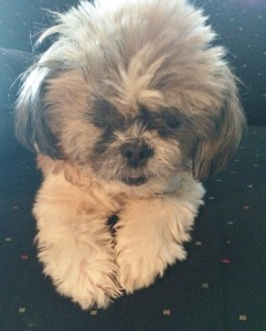 shih tzu and fur baby rescue china shih tzus furbabiesshih tzus furbabies 5021