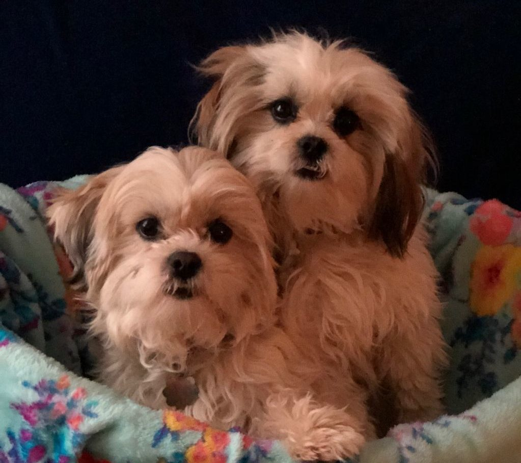 shih tzu and fur baby rescue welcome to stfbr rescue homepage shih tzus 5197