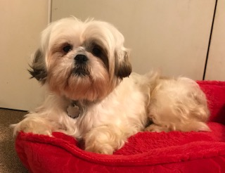 shih tzu and fur baby rescue welcome to stfbr rescue homepage shih tzus 9232